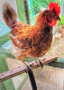 photo of a hen