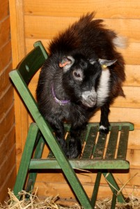 photo of a pygmy goat