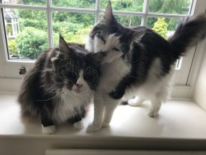 Two Maine Coon cats grooming each other