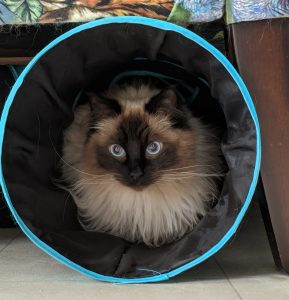Ragdoll cat sat in play tunnel looking at camera