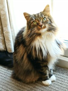 longhaired cat looking at camera