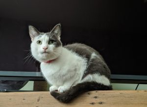 White and grey cat sat in front of a tv screen