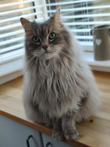 fluffy cat sat on kitchen worktop looking at camera